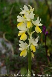 Gele karstorchis - Orchis pauciflora